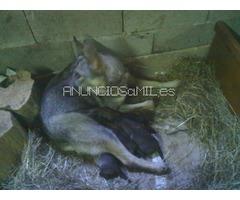 camada perro lobo-lobero-trabajo